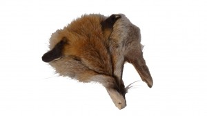 Fuchsfellreststück Kopf